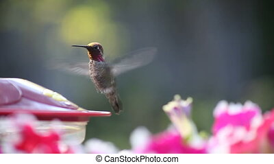 hummingbird at feeder with flowers - a ruby-throated...
