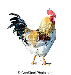 cocky rooster illustration - isolated illustration of a...
