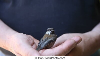 recovering bird - man holds chickadee stunned by flying into...