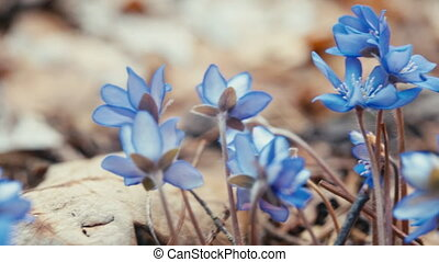 Blue snowdrop blossoming at the beginning of spring. Macro....