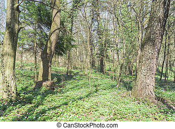 Forest with blooming flowers. - Forest with blooming flowers...