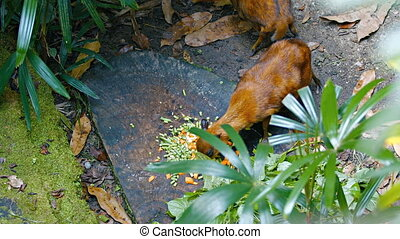 Chevrotains, also known as mouse-deer, are eating. FullHD...