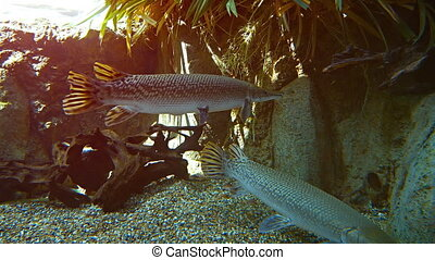 Alligator gar from North America. FullHD 1080p 1080p video