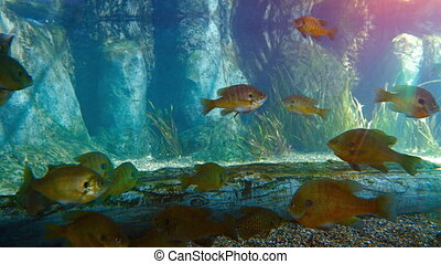 Tropical freshwater fish in a big aquarium. FullHD 1080p...