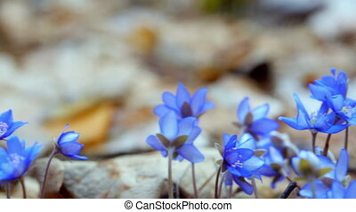 The first spring flowers in the wild forest. dolly shot -...