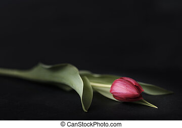 red tulip set against a black background