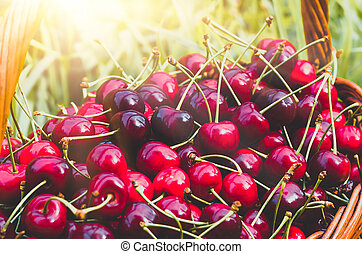 Ripe red organic sweet cherry in the garden in the summer....