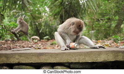 Monkey playing with tin can. Monkey forest in Ubud, Bali,...