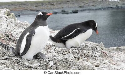 Gentoo Penguin with chicks on the nest - Gentoo penguine...