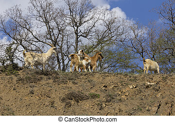 Herd of mountain goats on the slopes in the bushes.