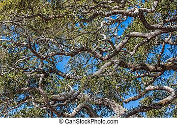 Twisted Oak Limbs - Many live oak trees twisting under clear...