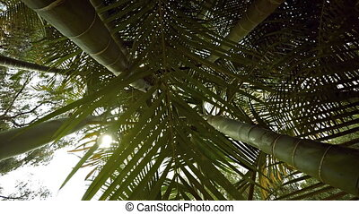 Light Filtering Down through the Leaves of a Bamboo Forest -...