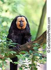 The white-faced saki (Pithecia pithecia), aka Guianan saki...