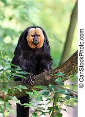 The white-faced saki (Pithecia pithecia), aka Guianan saki...
