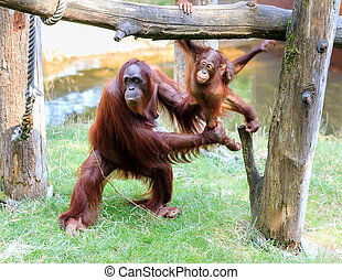 Bornean Orangutan and infant - Bornean Orangutan...