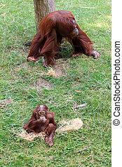 Bornean Orangutan and baby - Bornean Orangutan (orang-utan,...