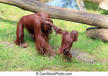 Hair pulling baby - Bornean Orangutan (orang-utan, Pongo...