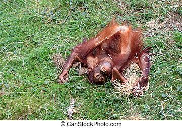 Upside down Orangutan - Bornean Orangutan (orang-utan, Pongo...