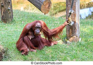 Mother Orangutan - Bornean Orangutan (orang-utan, Pongo...