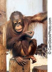 Young Orangutan - Bornean Orangutan (orang-utan, Pongo...