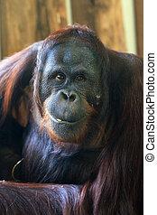Orang portrait - Bornean Orangutan (orang-utan, Pongo...