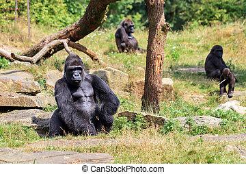 Silverback Gorilla sitting - Group of western lowland...