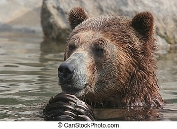 Brown Bear - Brown bear in the water.