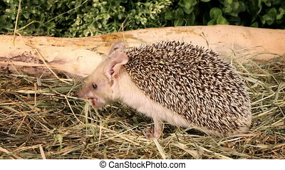 African hedgehog in the grass
