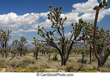 Joshua Trees in the Mojave Desert