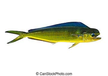 Aka Dorado dolphin fish mahi-mahi on white - Aka Dorado...
