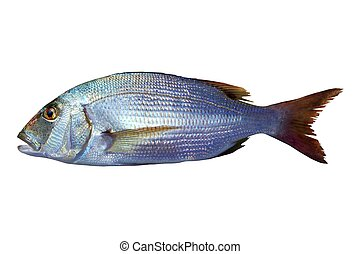 Dentex vulgaris toothed sparus snapper fish isolated on...