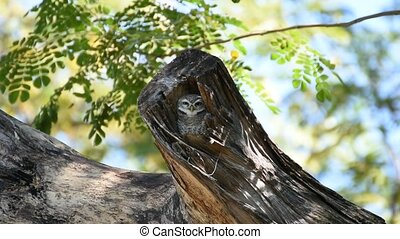 Bird (Spotted owlet, Owl) in hollow tree trunk - Bird...