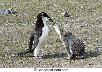 Chinstrap penguin feeding chick - Chinstrap penguin feeding...
