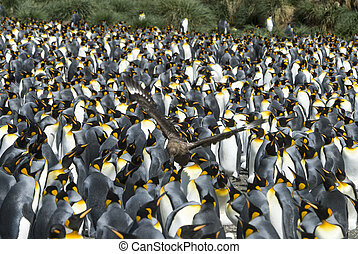 King penguins colony at South Georgia
