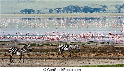 Two zebras and flamingo Two zebras go on coast of lake from...