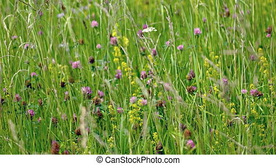 Wild Clover and Other Wildflowers in a Meadow. Video 1080p -...