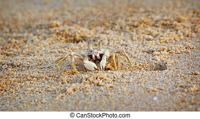 Funny crab digs a hole in the sand on a tropical beach