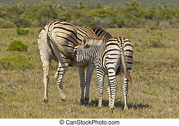 Young zebra feeding from its mother - Young zebra stands and...
