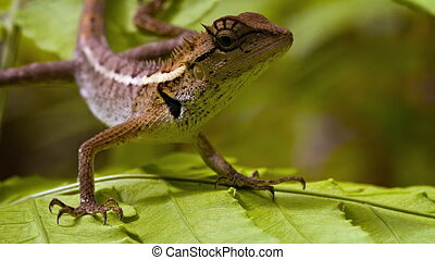 Forest Lizard in the rainforest close up. Thailand