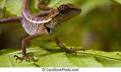 Forest Lizard in the rainforest close up. Thailand. FullHD...