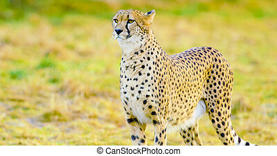 Close-up of adult cheetah looking after enemies - One...