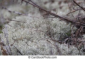 Cladonia rangiferina or reindeer lichen or reindeer moss or...