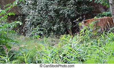 Siberian tiger in the bush - Shot of Siberian tiger in the...