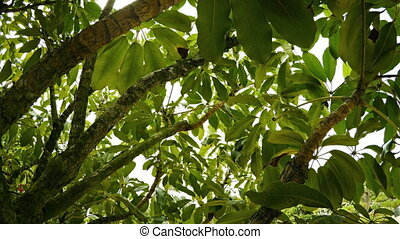Overhanging Boughs of a Tropical Tree on an Overcast Day -...