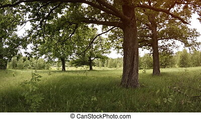 Mature Trees Grow in a Grassy Meadow, with Sound. - Mature,...