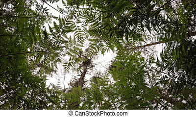 Gazing Skyward from beneath Fern Undergrowth in Pine Forest,...
