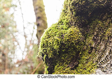 Mossy Tree in Foggy Forest Park