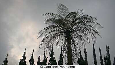 Tall Tree Fern, Silhouetted against a Gray Sky - Tall tree...