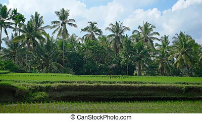 Palm Trees over a Rice Plantation in Bali, Indonesia - Palm...