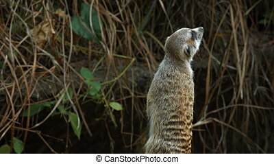 Solitary Meerkat Examines his Surroundings, with Sound -...